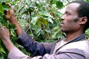 Elias Bechere, a coffee grower among his coffee bushes in Sidama, in the south of Ethiopia. Coffee accounts for 60 per cent of Ethiopia's export earnings.