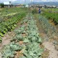 Fezeka community garden, Gugulethu