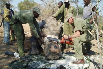 Removing the horn of a rhino to make it less appealing to poachers.