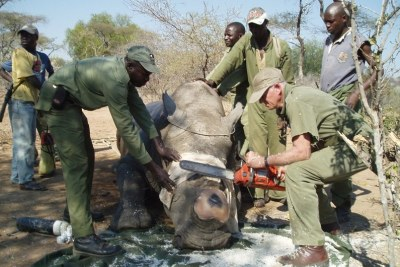 Conservators in Zimbabwe remove rhino horns to make them less attractive to poachers: Ministers are accused of taking part in the illegal trade in horns.