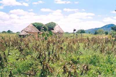 Maize field in rural areas