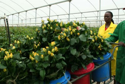 Workers pack roses for export at a flower farm (file photo)