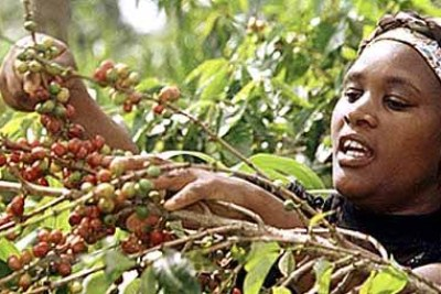 A farmer picks her coffee crop.