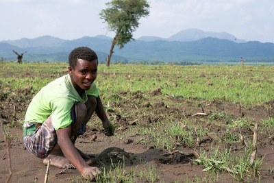 Some farmers in Cheffa Valley were lucky and retained their crops, despite flash floods.