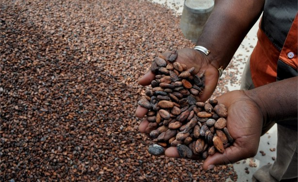 """cocoa production in west africa Gendered dynamics of production cocoa in west africa is typically considered a """"male crop,"""" but women contribute about half the labor on smallholder cocoa farms."""