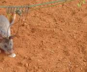Tanzania Giant Rats Sniff Out Land Mines And TB