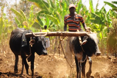 Farming the land with the help of cattle in Kenya.