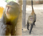 New Monkey Species Identified in DR Congo