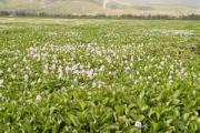 Water Hyacinth in Lake Victoria
