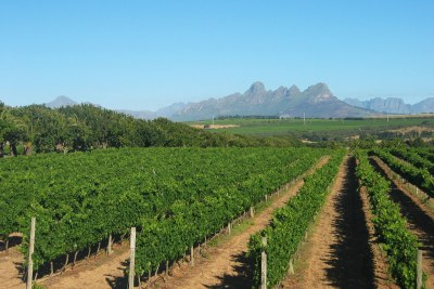 Vineyard in South Africa's Western Cape