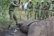 Kenya Wildlife Service attend to a poached elephant (file photo).