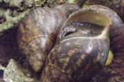 People get infected with schistosomiasis from contact with water containing parasites, which are released by infected snails.