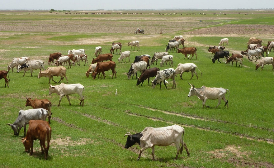 pastoral farming Because the humid pampa and great chaco are plain, so you can easily use horses to herding cattle climate is temperate, so cows don't need roofs during the winter season and if you have the terrain for cows to run and eat fresh grass making bett.