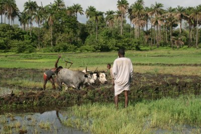 Rice farmers preparing a field in central Guinea-Bissau.