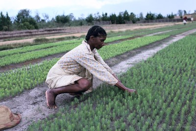 Cultivation in Madagascar