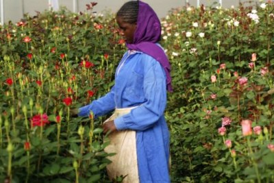 A woman harvests roses (file photo).