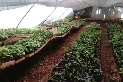 A nursery of tissue cultured sweet potatoes in a greenhouse in Zimbabwe