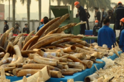 Part of the 6 tonnes of confiscated ivory that were destroyed by the authorities in China.
