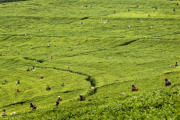 Workers plucking tea from plants.