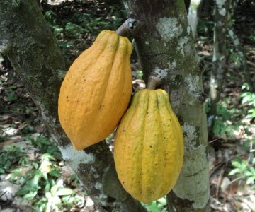 Liberia: The Cocoa Comeback