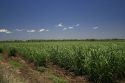 A field of sugarcane.