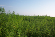 Hemp fields.