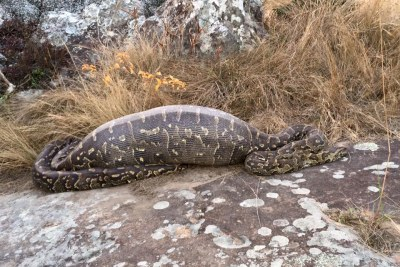 The Africa rock python was discovered on a bike trail at the Lake Eland nature reserve in South Africa