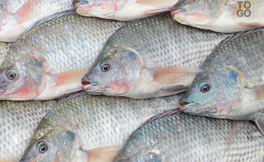 Africa fao issues alert over lethal virus affecting for Tilapia not real fish