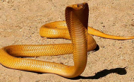 South Africa: Reptile Expert Comments On Snake Attacks