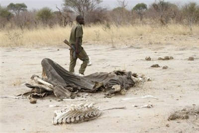 A game ranger walks by a rotting elephant carcass in Hwange National Park (file photo).