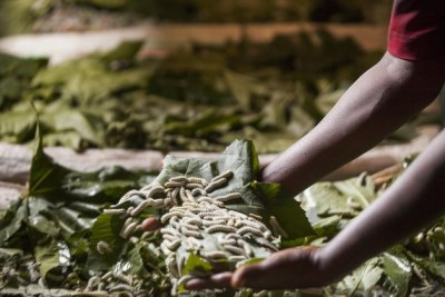 Mulunesh Ena is part of an existing project supported by icipe, working with five other women in her community near Arba Minch to raise silkworms.