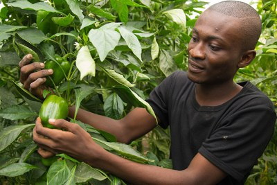 A farmer in Ghana. AfDB's Jobs for Youth Program seeks to build the capacity of young graduates between the ages of 18-35 to start businesses along the 18 priority value chains identified in the Feed Africa strategy.