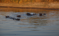 Namibian Govt to Drill Boreholes for Stranded Hippos?