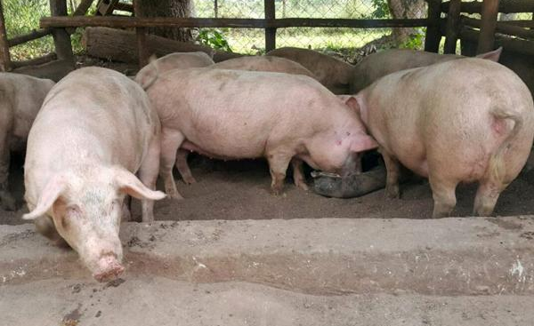 pig farming in south africa pdf
