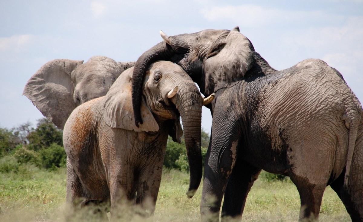 Botswana: Elephant Protection Society Promotes Co-Existence