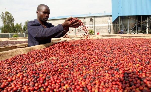 Kenya: Government to Establish a Coffee Research Institution