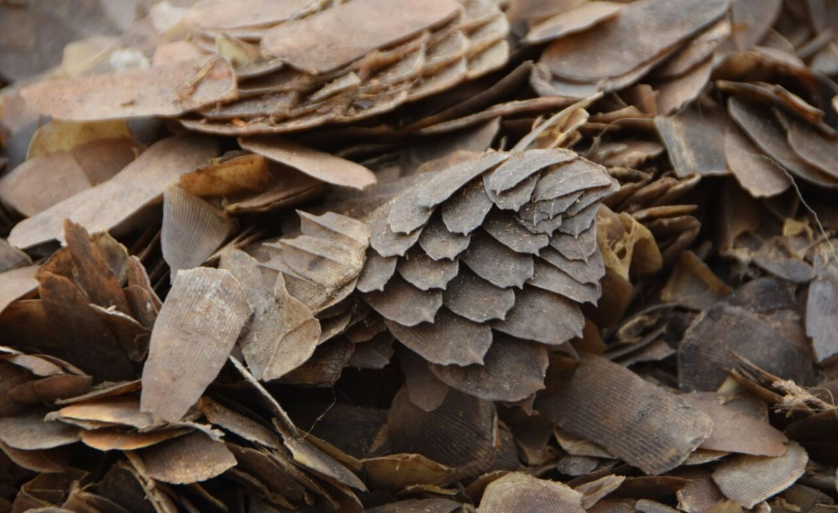 Image Gabon: Pangolins Share Burrows With Bats in Potential 'Viral Melting Pot' - Scientists