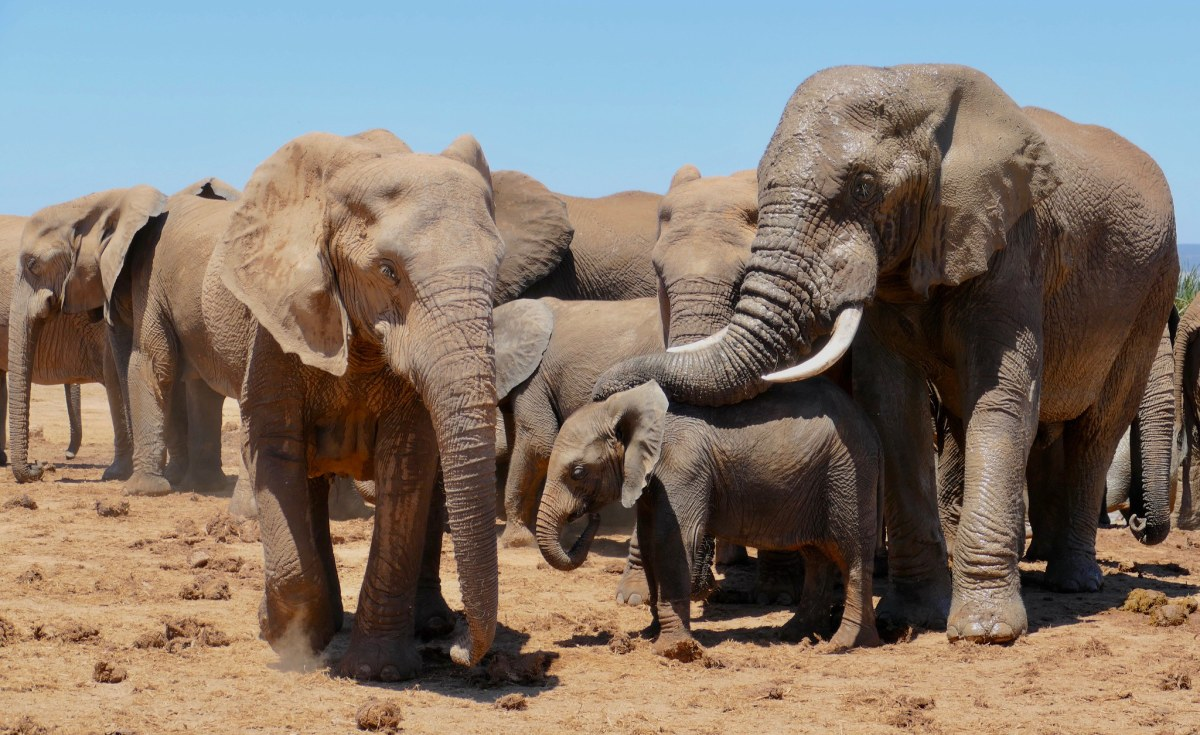 Africa: No More Exports of Live Elephants - Except 'In Exceptional Circumstances'