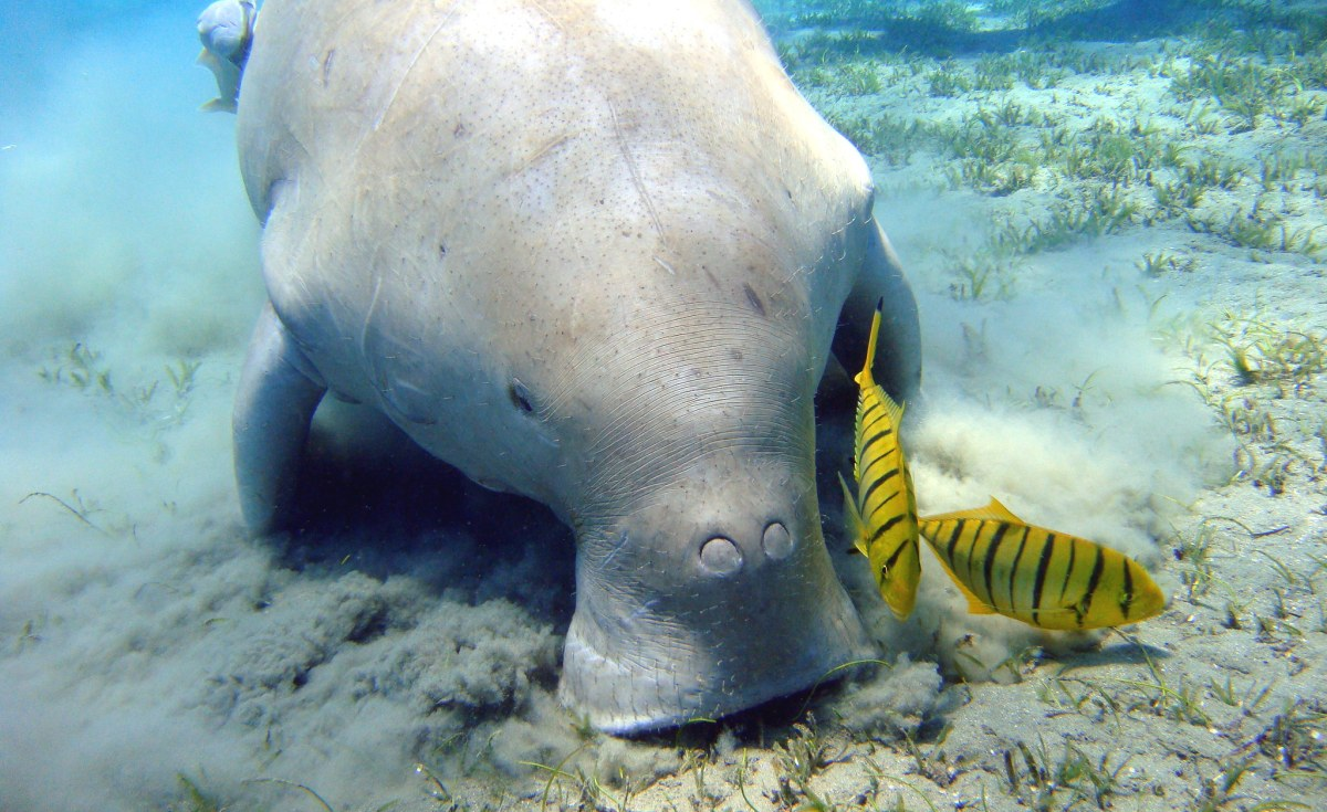 Southern Africa: Dugongs - Looking to the Gentle Sea Creature's Past May Guard Its Future